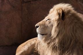 животные, львы, хищник, грива, морда, профиль, красавец, лежит, отдых, зоопарк