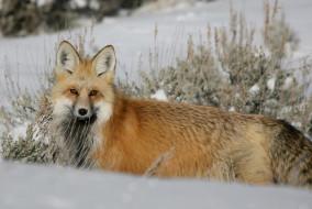 животные, лисы, снег, лиса