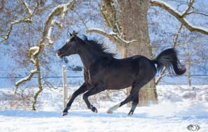 автор,  oliverseitz, животные, лошади, конь, вороной, профиль, бег, галоп, движение, мощь, грация, красота, игривый, зима, снег, загон