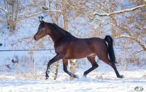 автор,  oliverseitz, животные, лошади, конь, гнедой, рысь, бег, движение, мощь, сила, грация, зима, снег, загон
