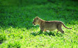 животные, львы, трава, львенок, детеныш, котенок