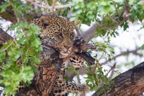 животные, леопарды, морда, дерево, листва, задумчивый, отдых, лежит