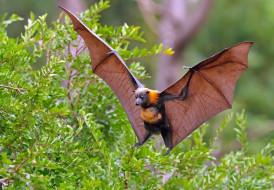 животные, летучие мыши, лиса, крылья, ветки, кусты, летучая, лисица