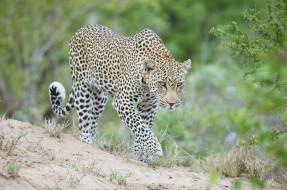 животные, леопарды, кошка, морда, идёт, африка