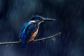 животные, зимородки, дождь, зимородок, капли, птица, ветка, брызги