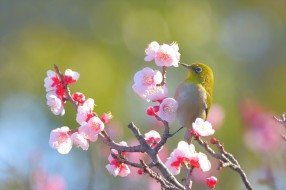 животные, белоглазки, весна, боке, цветы, ветка, свет, птица