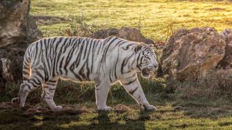 животные, тигры, белый, хищник, мощь, полоски, свет, трава