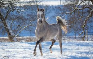 Автор: OliverSeitz обои для рабочего стола 3400x2160 автор,  oliverseitz, животные, лошади, конь, серый, бег, движение, грация, загон, зима, снег