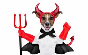 юмор и приколы, накидка, наряд, красные, перчатки, рога, юмор, хвост, джек-рассел-терьер, трезубец, дьявол, белый, фон