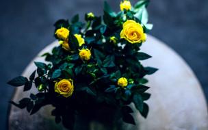 цветы, розы, бутоны, желтые