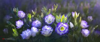 цветы, розы, by, duongquocdinh, красивые