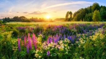 луга, утро, Россия, солнце, деревья, лето, люпины, цветы