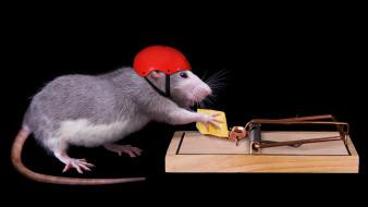сыр, мышь