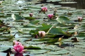 цветы, лилии водяные,  нимфеи,  кувшинки, листья, вода, лилии