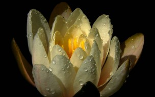 цветы, лилии водяные,  нимфеи,  кувшинки, бутон, капли