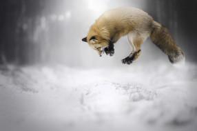 животные, лисы, лисичка
