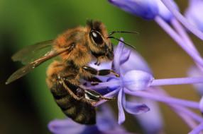 животные, пчелы,  осы,  шмели, пчела
