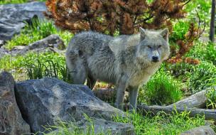 животные, волки,  койоты,  шакалы, камни, трава, белый, волк