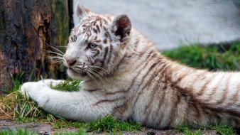 животные, тигры, тигрёнок, тигр, белый, хищник, зверь