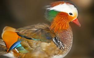животные, утки, утка, мандаринка, птица
