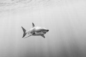 животные, акулы, белая, акула, большая