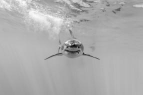 животные, акулы, белая, большая, акула
