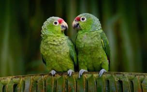 обои для рабочего стола 1920x1200 животные, попугаи, эквадор, попугай, краснолобый, амазон, птицы