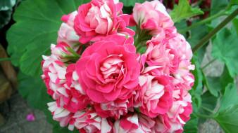цветы, розы, ветка