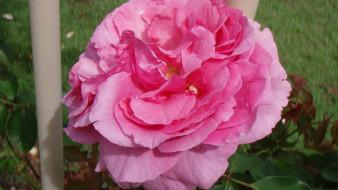 цветы, розы, розовый, макро