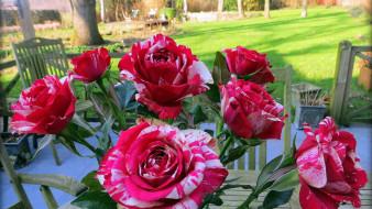 цветы, розы, пестрые