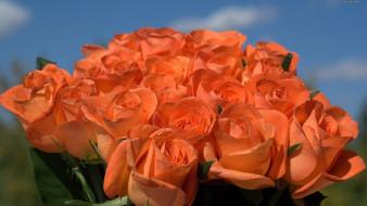 цветы, розы, персиковый, бутоны, много