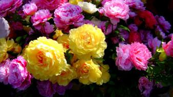 цветы, розы, много