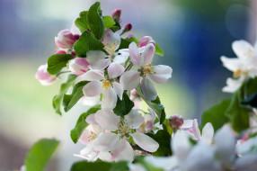 цветы, цветущие деревья ,  кустарники, весна, яблоня, ветка
