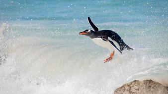 волна, сёрфинг, папуанский пингвин, пингвин, океан, птица