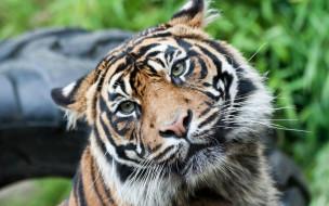 обои для рабочего стола 2560x1600 животные, тигры, голова, уши, тигр