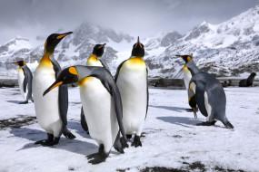горы, пингвин, пингвины, королевские пингвины, снег