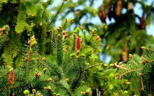 природа, шишки,  жёлуди,  каштаны, весна, зеленые, ветки