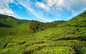 плантация, чайная
