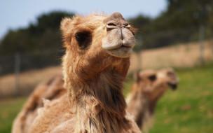 верблюд, взгляд