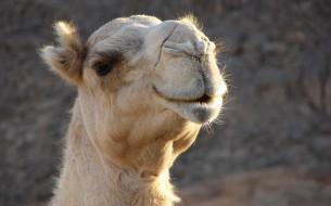 верблюд, белый, голова