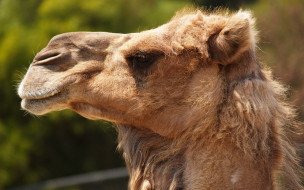 профиль, верблюд, голова