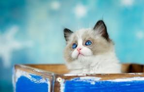 животные, коты, котенок, взгляд, кошка, пушистый, голубой, коробка, фон, торчит, голубоглазый, милашка, мордашка, ящик