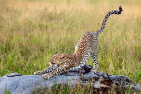 обои для рабочего стола 2500x1667 животные, леопарды, африка, леопард, трава, большая, кошка, потягивается