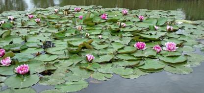 цветы, лилии водяные,  нимфеи,  кувшинки, листья, лилии, водяные, вода