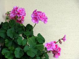 цветы, герань, розовый