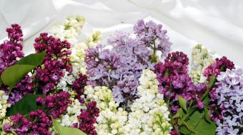 цветы, сирень, гроздья