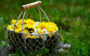 цветы, одуванчики, солнечный