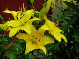 цветы, лилии,  лилейники, желтый
