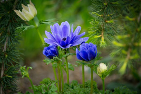 цветы, анемоны,  сон-трава