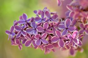 цветы, сирень, гроздь, соцветие, макро
